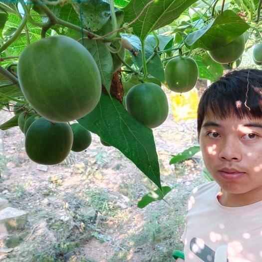 廣西壯族自治區桂林市永??h 廣西羅漢果原產地新鮮現摘現發供貨生果包郵羅漢果果茶