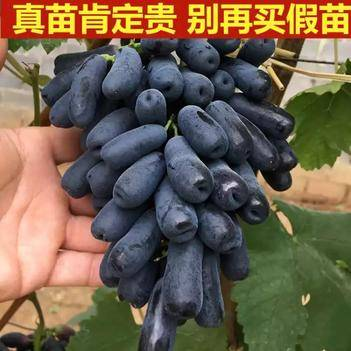 藍寶石葡萄苗 【純度苗】藍寶石葡萄樹苗