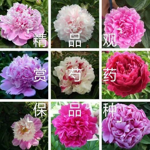 山东省菏泽市牡丹区白芍 芍药,精品观赏芍药,几十个品种,多层花,保证品种,保证质量,