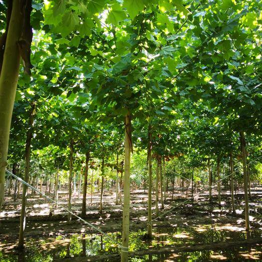 河北省保定市清苑区速生法桐 大量 低价出售各种规格 法桐