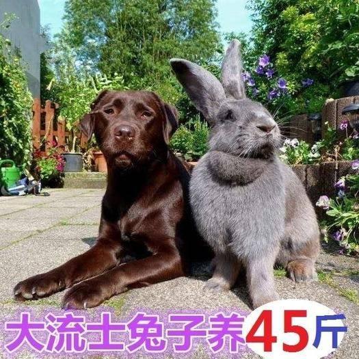 江蘇省徐州市新沂市 2019德國大流士巨兔 活體兔子兔苗大型肉兔養45斤比利時