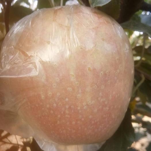 河北省保定市博野縣中秋王蘋果 95mm以上 統貨 膜袋