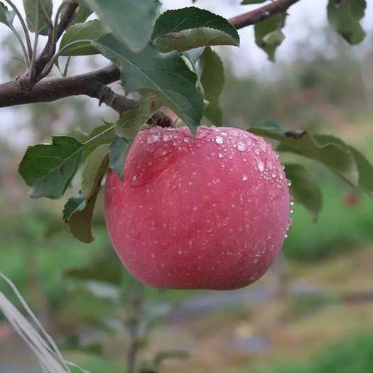 陜西省寶雞市陳倉區長富2號蘋果 70mm以上 統貨 紙+膜袋