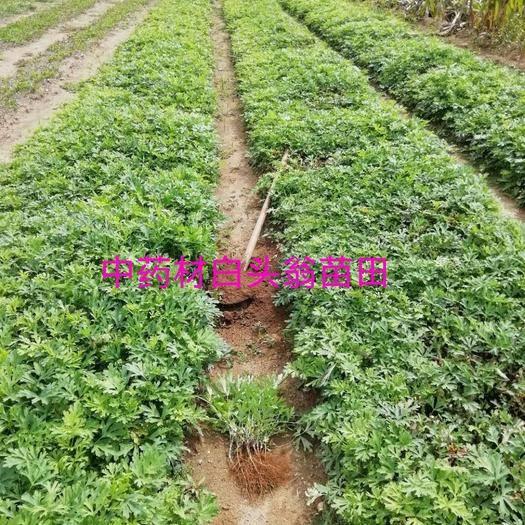 内蒙古自治区赤峰市松山区 白头翁种苗