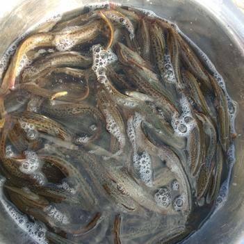 急需出售两三千斤台湾泥鳅。  过来收的话7.5