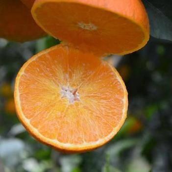 爱媛38号柑桔苗 爱媛38号杂柑橘苗 当年结果苗 现挖发苗,包邮包成活