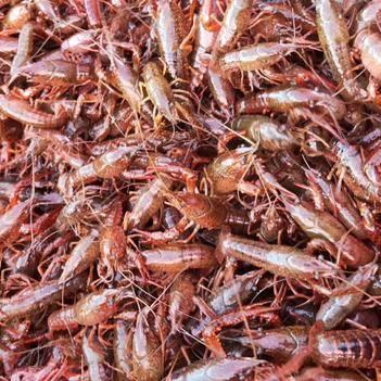 潜江小龙虾大红78910以上种虾 23钱优质虾苗活性好包邮