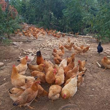土鸡蛋 山林果园散养  均重12.2枚/斤 新鲜粉壳蛋 部分包邮