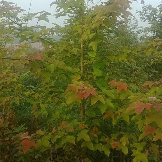 12公分枫香树价格
