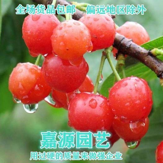 四川省成都市錦江區 櫻桃種子山櫻桃種子新種子包郵