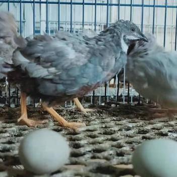 桂花雀蛋 桂花雀芦丁鸡种蛋