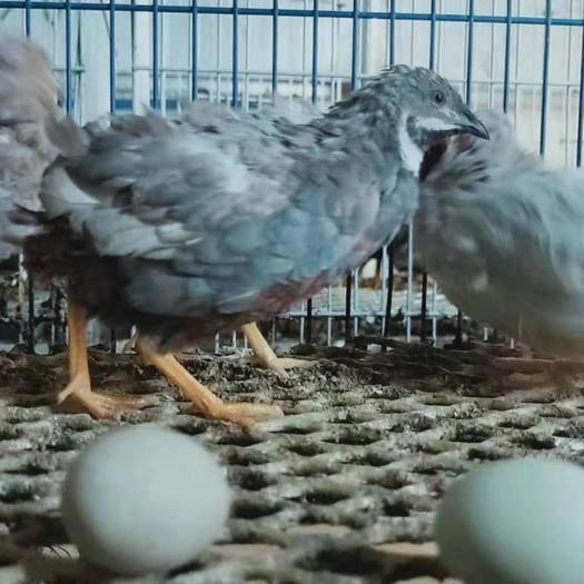 安徽省亳州市譙城區桂花雀蛋 桂花雀蘆丁雞種蛋