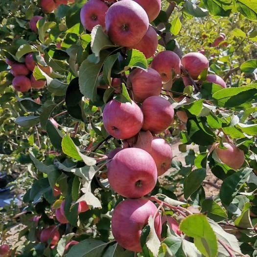 內蒙古自治區赤峰市寧城縣 內蒙古寧城富士蘋果