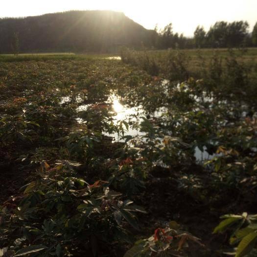 河南省三門峽市陜州區 七葉樹