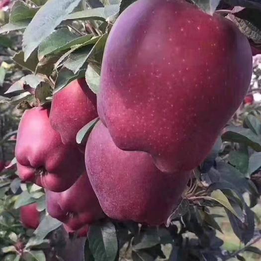 甘肅省天水市麥積區 2019天水花牛蘋果,世界知名度最高的蘋果,熱銷中