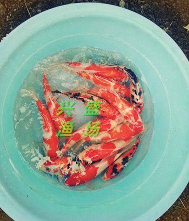 北京市平谷区日本锦鲤 0.25-1公斤