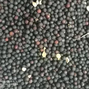 呼伦贝尔优质高含油。新油菜籽供应。精选优质。