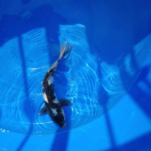 安徽省阜阳市阜南县 专业锦鲤养殖场出售各种规格精品高档锦鲤,批发便宜欢迎长期合作