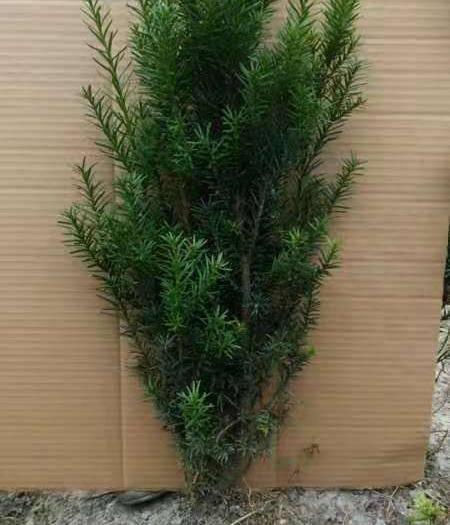 四川省成都市郫都区 曼地亚红豆杉带土球发货红豆杉贵族室内盆栽