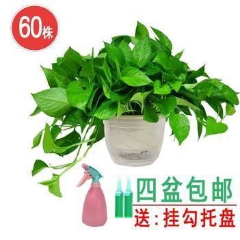 綠蘿 A180盆栽60株 四盆包郵 長藤大葉除甲醛 基地直銷