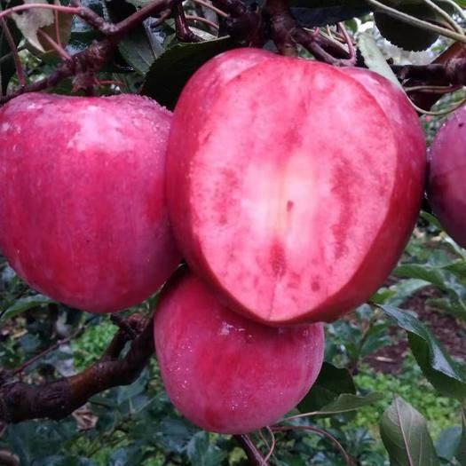 遼寧省營口市蓋州市 紅色之愛蘋果花青素含量高,能美容養顏,延緩衰老,強身健體。