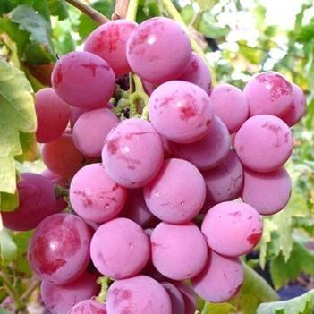 美国红提苗 美国红提葡萄树苗南北方种植盆栽地栽包成活包结果