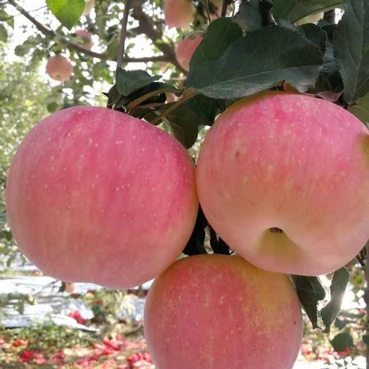 陜西省渭南市富平縣 陜西紅富士蘋果  凈重9斤   75起步支持一件代發