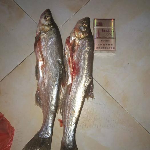 贵州省贵阳市云岩区白条鱼 纯野生鱼,自己捕捞