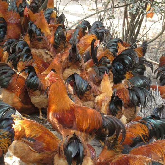 廣西壯族自治區南寧市西鄉塘區 靈山土雞苗の廣西黃腳土閹雞