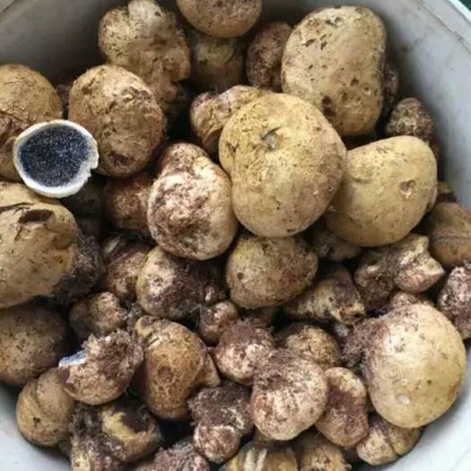 江西省贛州市信豐縣杏鮑菇菇腳 純野生石頭菇