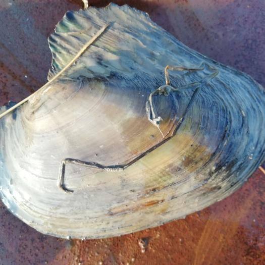 黑龙江省双鸭山市岭东区野生河蚌 冬天要货须预订!规格在0.5斤——1.5斤。