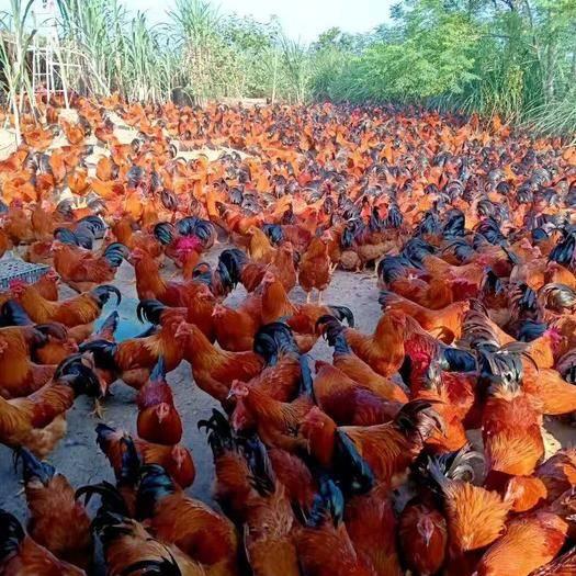 廣西壯族自治區南寧市西鄉塘區土雞苗 の45天脫溫閹雞,1.5斤左右