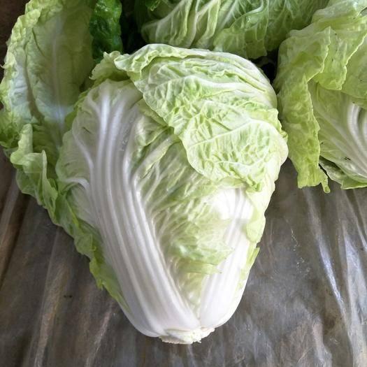 河南省開封市通許縣 白菜量大,價格便宜,基地直銷