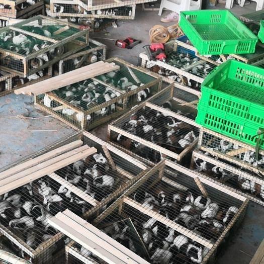 荷兰鼠种苗出售,包技术包回收 豚鼠,商品鼠荷兰猪。包赚行业