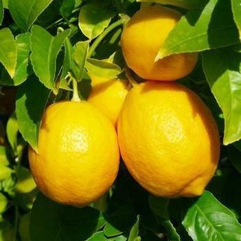 檸檬苗  當年結果  基地直銷  假一賠十 包成活  包郵