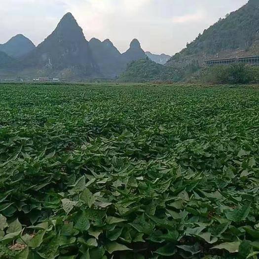 廣西壯族自治區桂林市永??h 優質紅薯梗,物美價廉,歡迎訂購,價格可協商