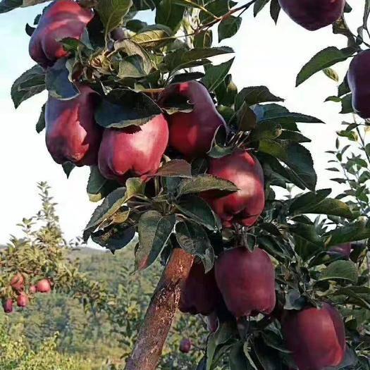 甘肅省隴南市禮縣 自己家蘋果園種的,天然無公害,天然綠色食品