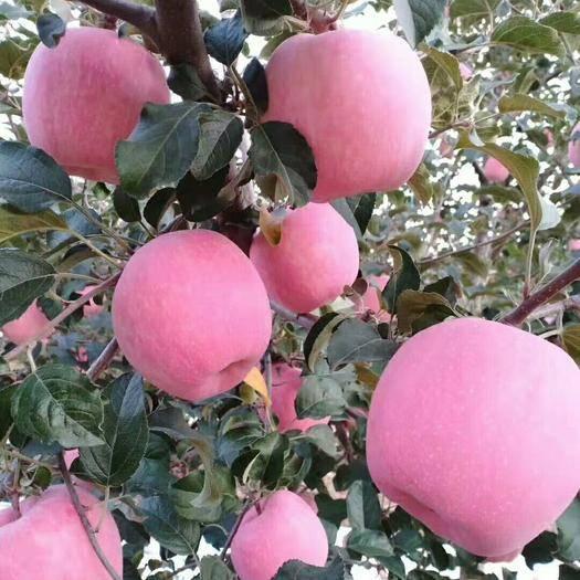 甘肅省天水市甘谷縣富士王蘋果 65mm以上 片紅 紙+膜袋