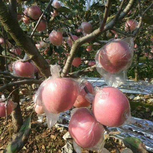 陜西省咸陽市禮泉縣 陜西禮泉紅富士名揚天下,這里果農每戶平均20畝以上,貨源充