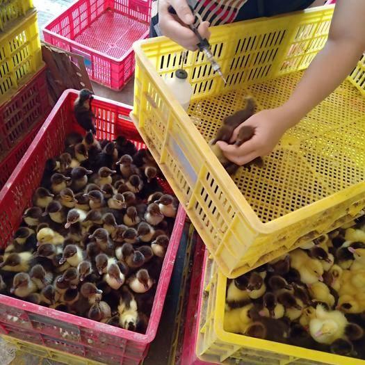 广西壮族自治区南宁市西乡塘区 头苗刚出壳的西洋鸭苗