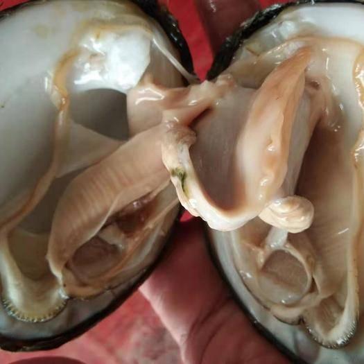广西壮族自治区桂林市七星区野生河蚌 野生河鲜扇贝
