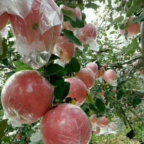 河北省石家莊市晉州市紅富士蘋果 大量上市脆甜紙袋膜袋紙加膜都有新鮮水果年后發貨