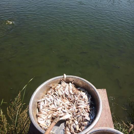 安徽省亳州市蒙城县乌鳢 自己养的黑鱼,要的具体联系,平均个头不大,在1.8斤差不多