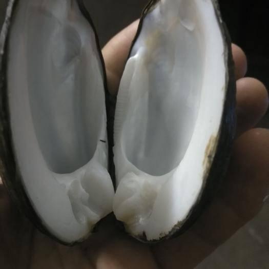 广西壮族自治区桂林市永福县 河蚌壳