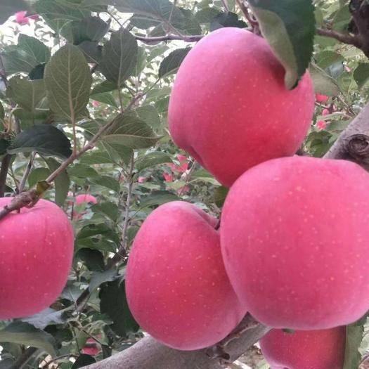 寧夏回族自治區中衛市沙坡頭區紅富士蘋果 大量供應套袋紅富士,產地直銷,支持上門看貨。