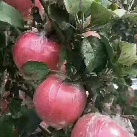 河北省石家莊市晉州市紅富士蘋果 紙加膜紅富士批發大量上市脆甜海量貨源日出三萬斤年后發貨
