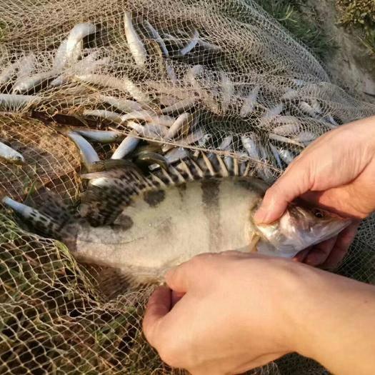 安徽省宣城市广德县翘嘴鳜 生态养殖,每条约重1.8斤