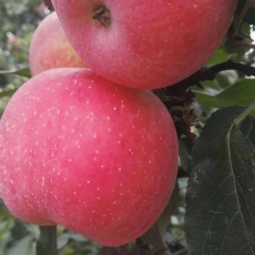 河北省石家莊市晉州市紅富士蘋果 海量貨源大量批發紙袋膜袋紙加膜都有脆甜新鮮一件代發年后發貨