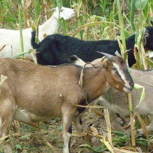 广西壮族自治区贺州市八步区 本土山羊!品质保证