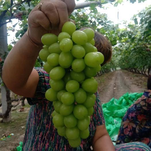 河北省石家庄市晋州市阳光玫瑰 5%以下 1次果 1-1.5斤